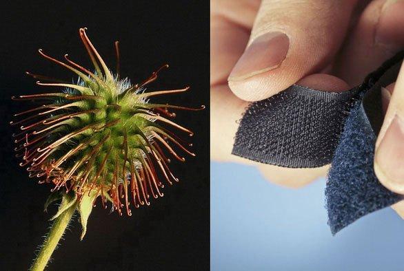 Hạt ngưu bàng là nguồn gốc của phát minh khóa dán Velcro
