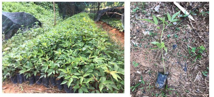 Sản xuất thành công giống cây Mắc khén tại Nghệ An