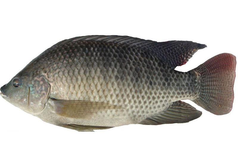 Kết quả xây dựng mô hình sản xuất giống cá Rô phi lai xa dòng Israel tại Nghệ An
